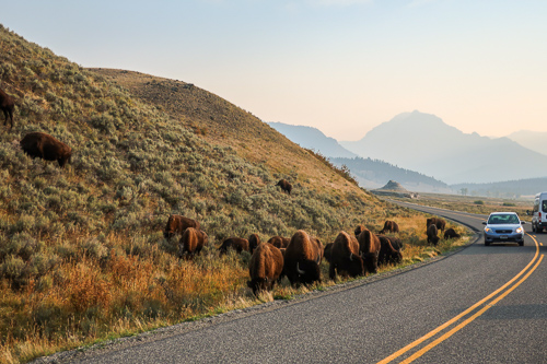 bison graze on the side of the northeast entrance road at yellowstone national park