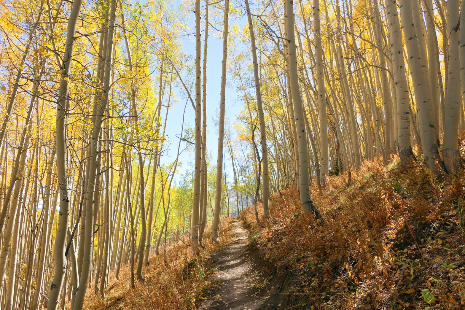 aspen lined trail in crested butte colorado