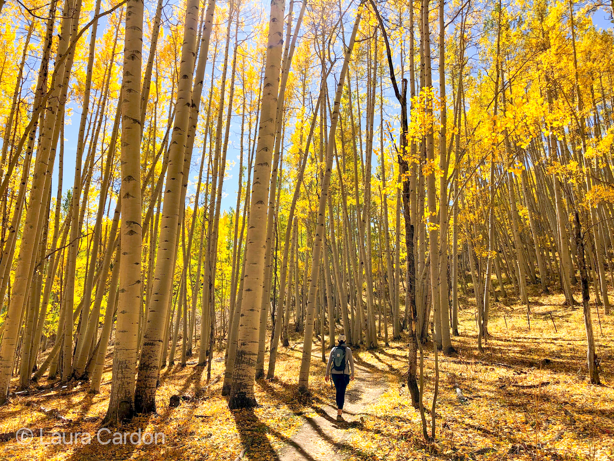 person walks away from camera on a golden aspen lined trail on a sunny colorado day